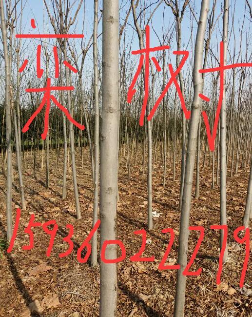 河南栾树基地周口栾树批发西华栾树种植河南省栾树价格栾树供应