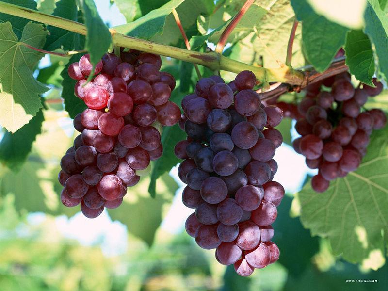 夏黑葡萄大量上市18560436678