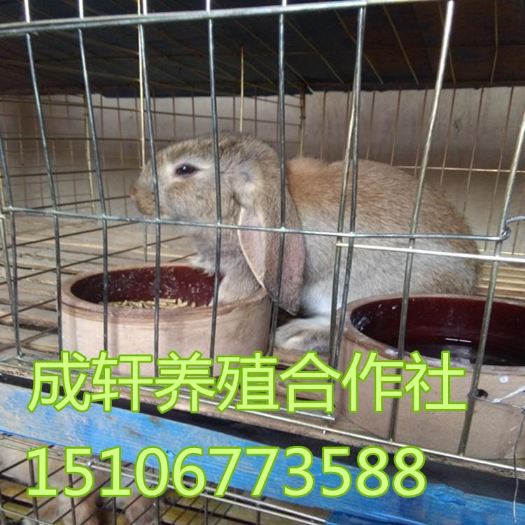 养殖场出售大型肉兔公羊兔 兔种 兔苗 提供养殖技术