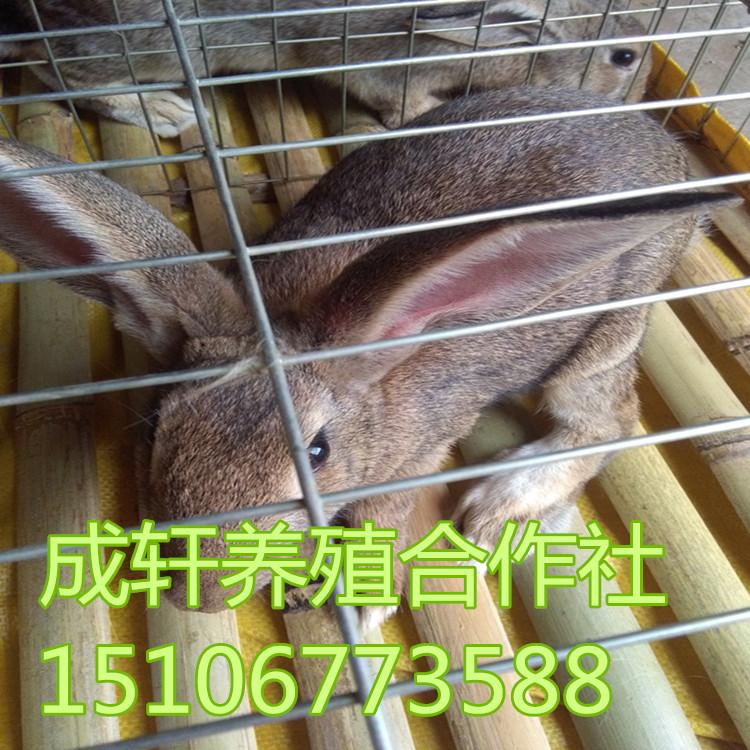 杂交野兔养殖  杂交野兔市场价格 养殖技术