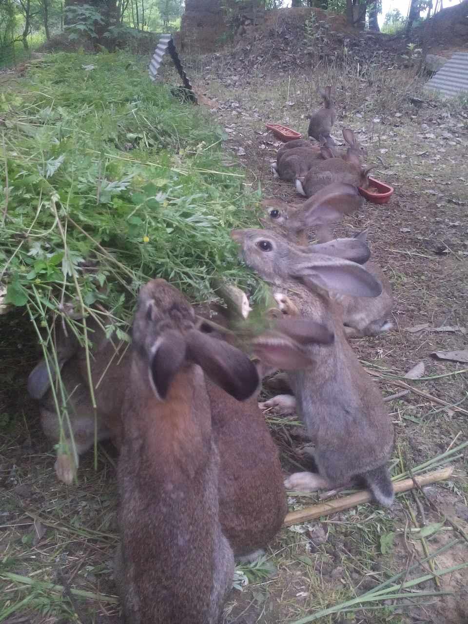 养兔前景肉兔野兔杂交野兔那个品种好种草养兔成本低收益大湖北养殖基地