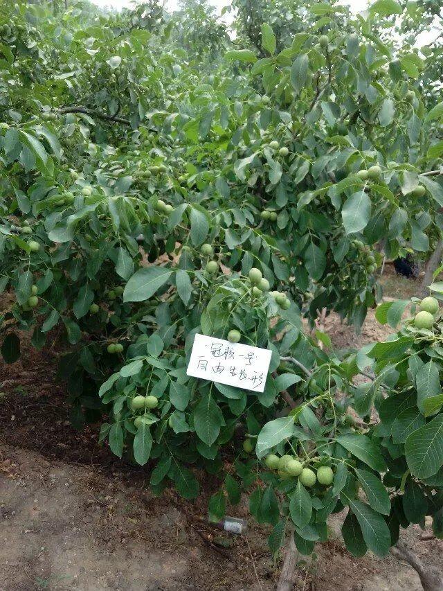 淄博冠核农业为您普及有关核桃苗栽植时间的确定