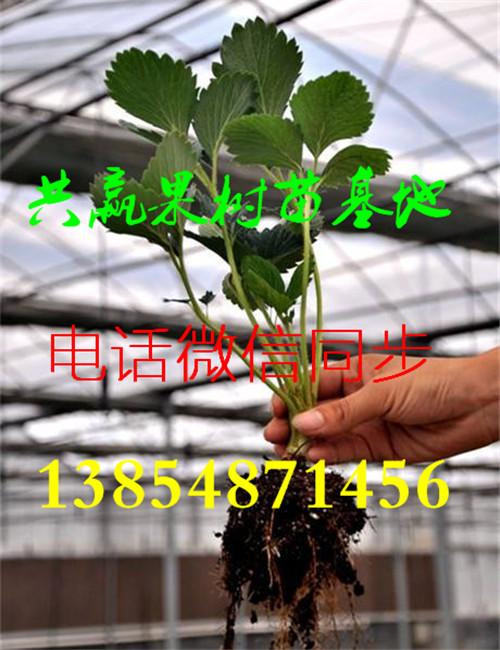 优乐国际娱乐登录牛奶草莓苗-露天草莓品种