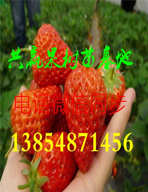露天草莓苗种植基地 大棚草莓专用