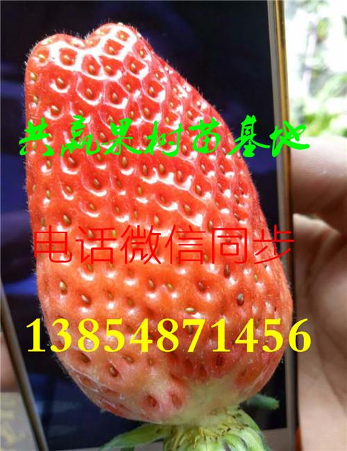 优乐国际娱乐登录露天草莓苗-种苗价格-大棚草莓