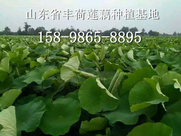 江西新余市种植什么莲藕品种