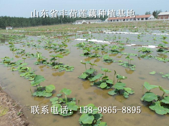 山东济南市深水藕哪个品种产量高