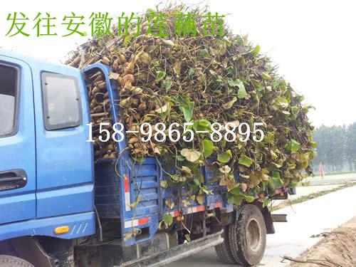 甘肃金昌市深水藕种子