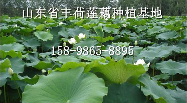 安徽滁州市浅水藕种植效益与成本分析