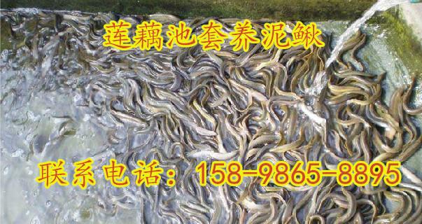 河南驻马店市多深的水位才叫浅水藕