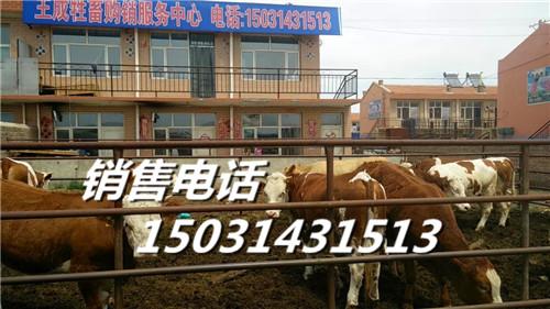 张北肉牛张北肉牛价格优质张北肉牛批发采购