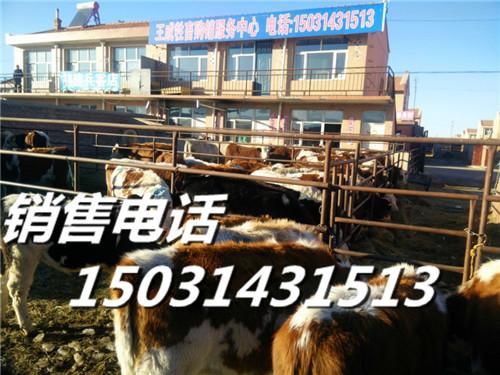 河北张家口肉牛市场张北肉牛交易的地方肉牛犊的来源