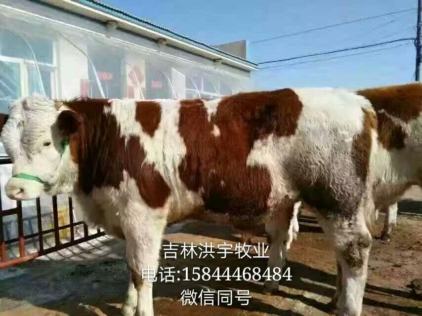 优质西门塔尔公牛交易价格