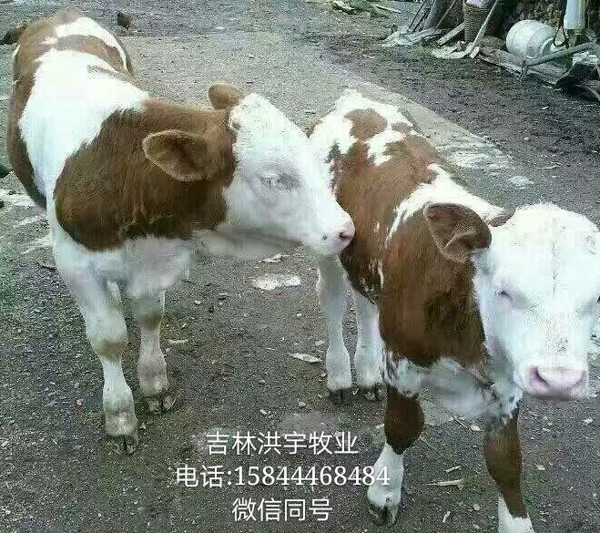 17年小母牛价格