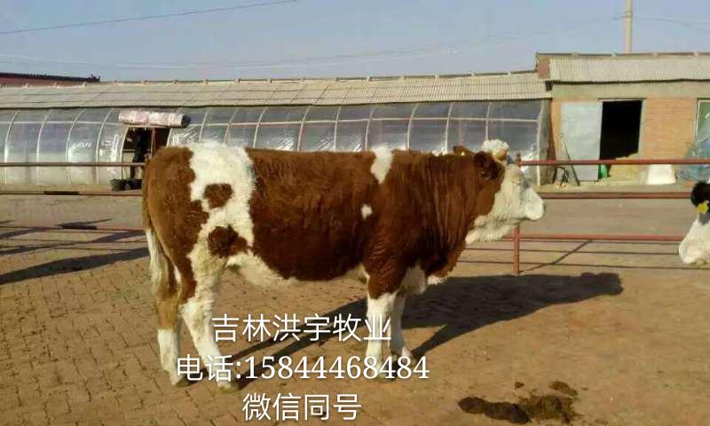 西门塔尔公牛的市场交易价格