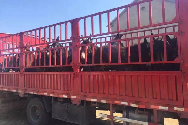 玉树肉驴苗改良基地