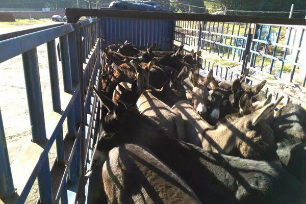 河南三门峡肉驴苗改良基地