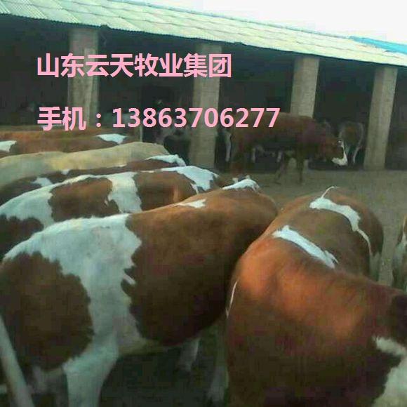 海南肉牛几个月可以出栏免费运输货到付款