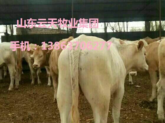 屏东肉牛几个月可以出栏品种齐全