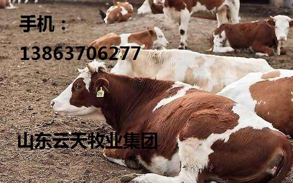 黄南300斤育肥牛犊多久出栏贴心服务