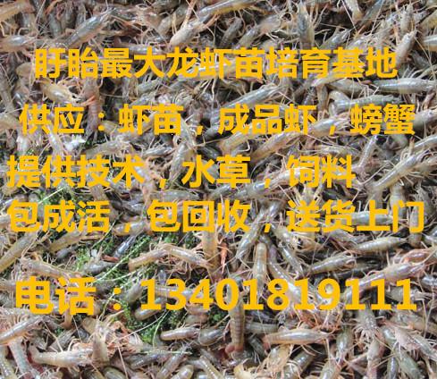 邳州抱卵种虾苗小龙虾苗价格稻田龙虾养殖提供技术包成活率