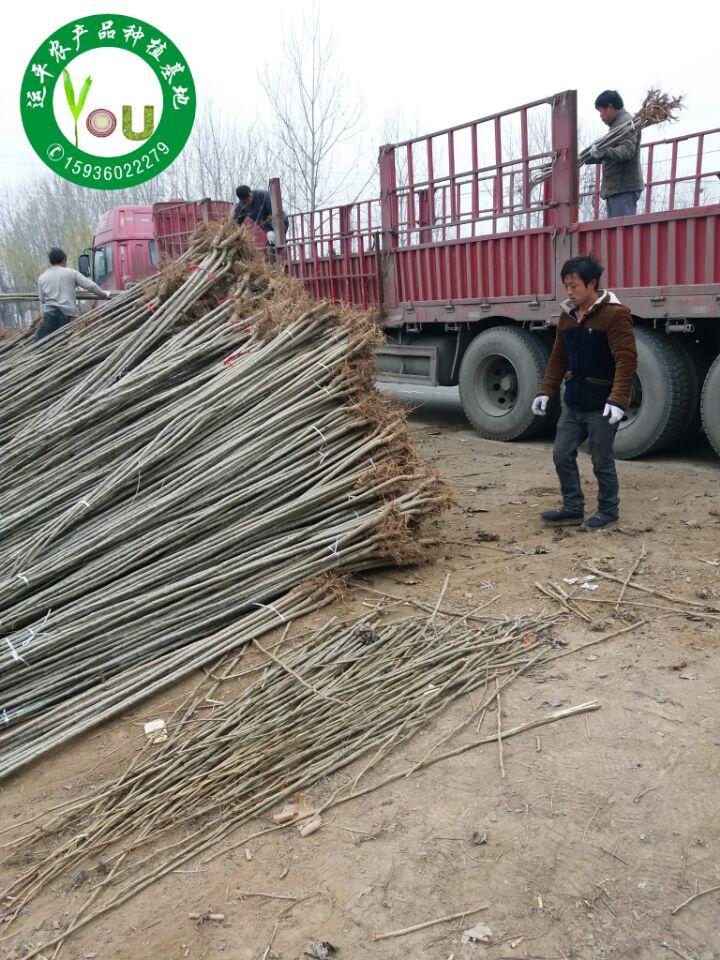 河南杨树苗供应周口速生杨树苗出售西华速生杨批发杨树苗价格杨树苗种条