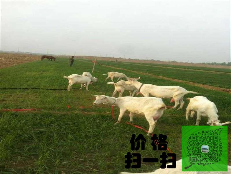 永州二胎产奶奶山羊多少钱一只