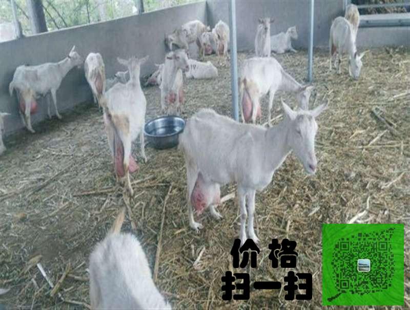 山东三信牧业为您提供克拉玛依二胎产奶奶山羊多少钱一只。克拉玛依二胎产奶奶山羊多少钱一只中国生猪养殖平均成本上升 奶山羊养殖现在还处在一个发展阶段,正在被人们所认同,通过国内人群对食品保健意识的提高,羊奶产业正逐步走进国内高端市场,从营养价值来说,羊奶在人体的吸收率是牛奶的2.