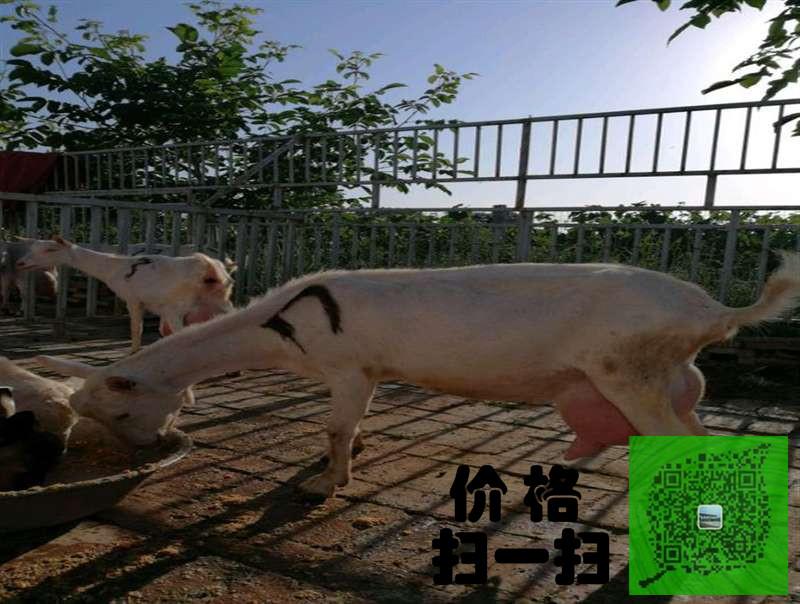 邵阳成年奶山羊多少钱一只