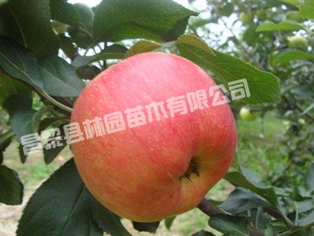 成活率高的梨苗苹果苗批发