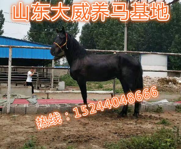 兰州哪里可以买到骑乘马、哪里销售小矮马