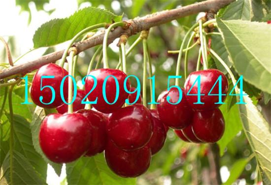 五营区供应黄密大樱桃苗绿洲果树苗木13864969239