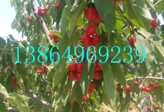 巴林左旗供应拉宾斯大樱桃苗绿洲果树苗木13864969239