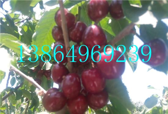 安多县供应黄密大樱桃苗绿洲果树苗木13864969239