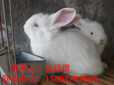 长毛兔兔毛收购商、哪里有收购兔毛的