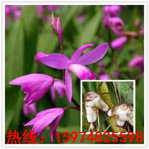 河曲县新鲜白及高效栽培技术