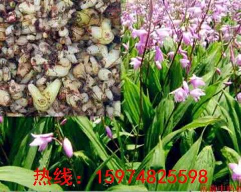 桓台县白及苗品种优良