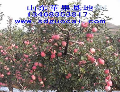 江苏嘎拉苹果市价多少钱一斤