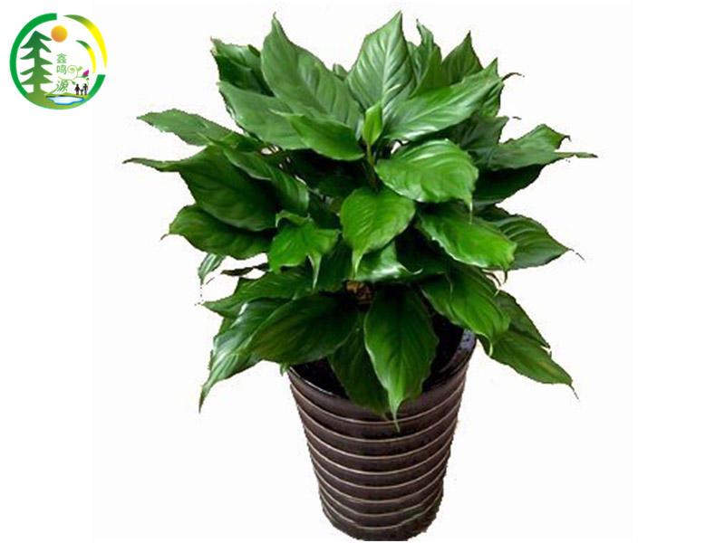 成都哪里有提供高效的花卉租赁销售成都生产厂家