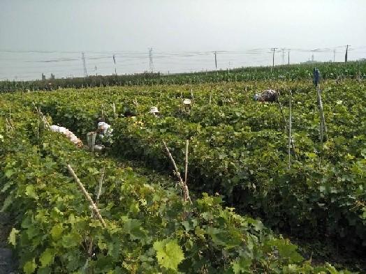 红指葡萄苗价位 供应河北高质量的晚熟品种红提葡萄苗