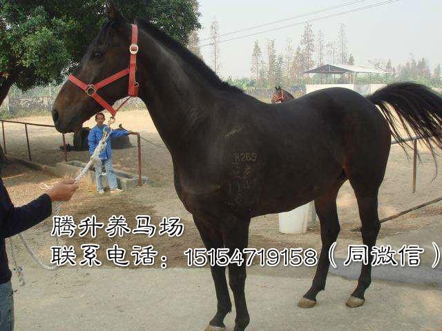四川阿坝藏族羌族自治州阿拉伯马养殖中心