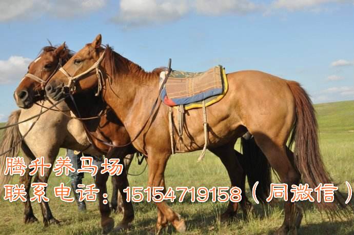 吉林通化市哪里可以买到纯种英国矮马
