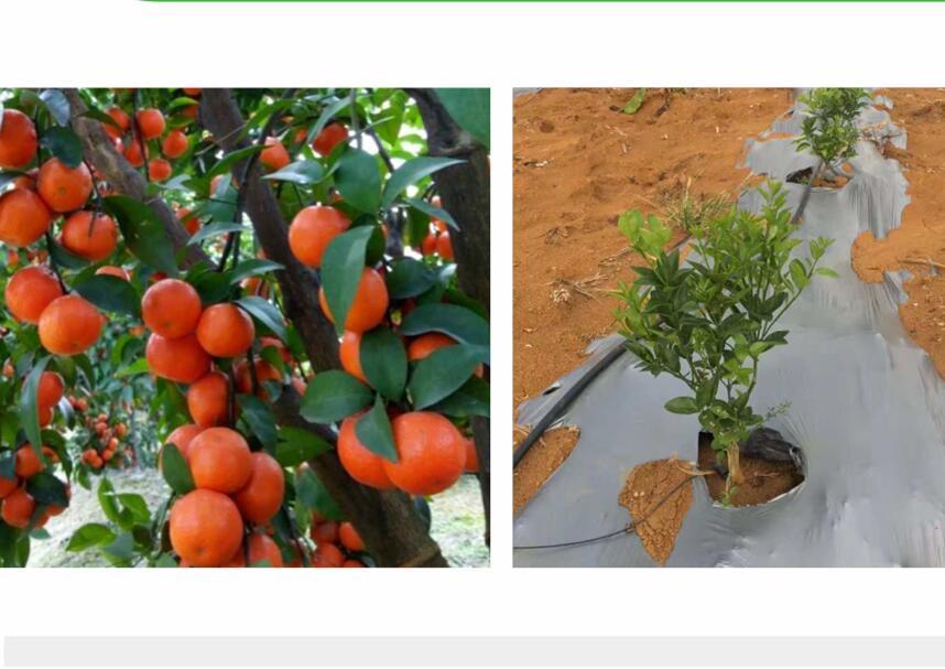 砂糖橘长寿专用膜认准贵州晟和兴塑业-质优价平 六盘水塑料薄膜批发