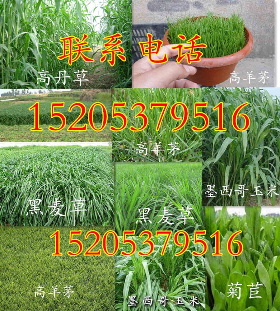 湖南省邵阳市三叶草种子怎么种