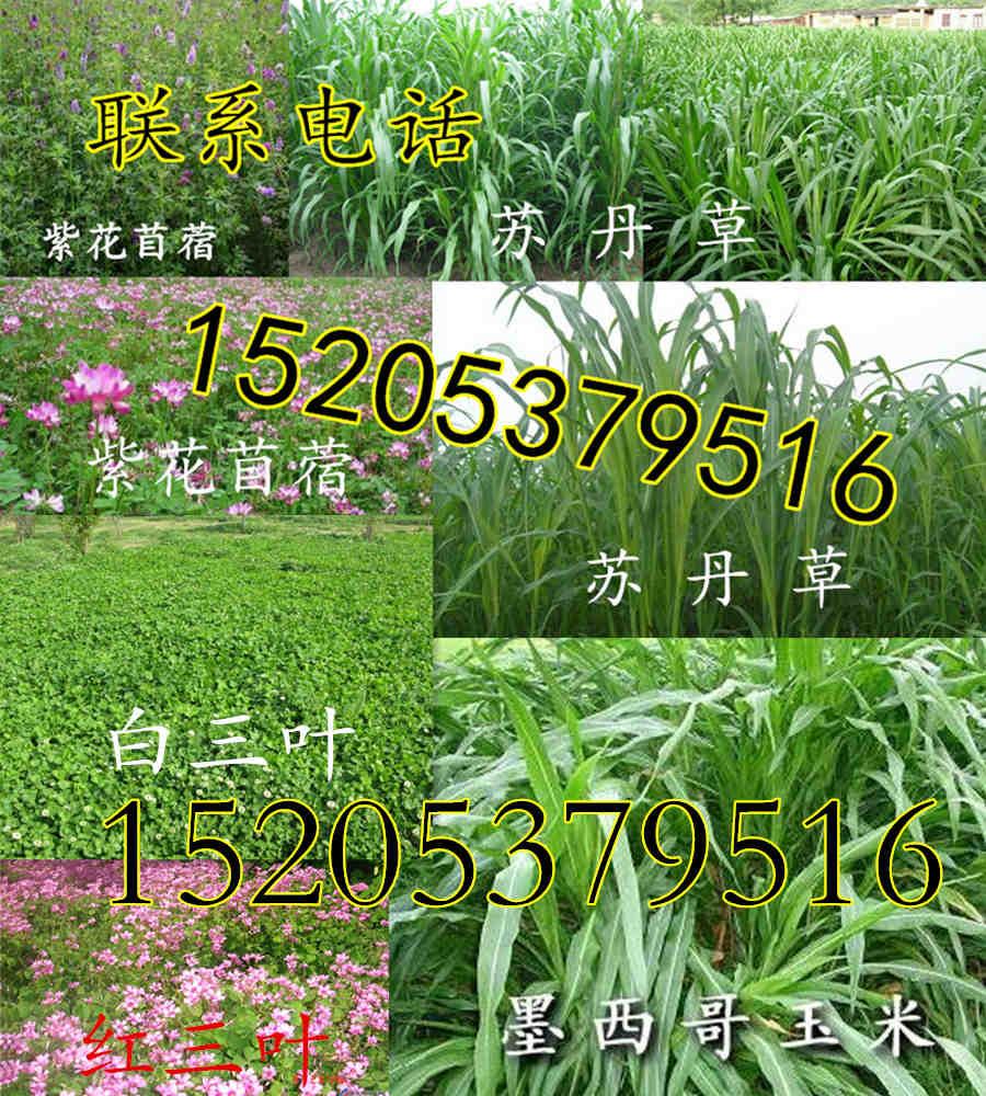 吉林省松原市护坡草种子哪里买