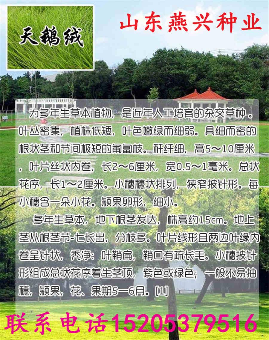 山东省莱芜市常见草坪草种