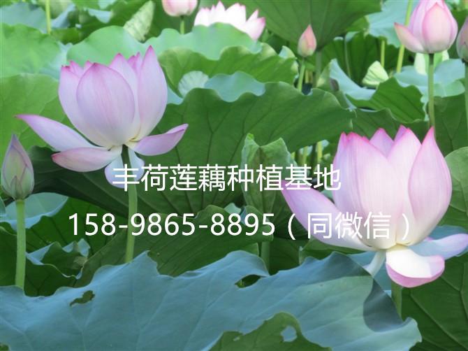 河南省平顶山市哪有卖观赏莲花