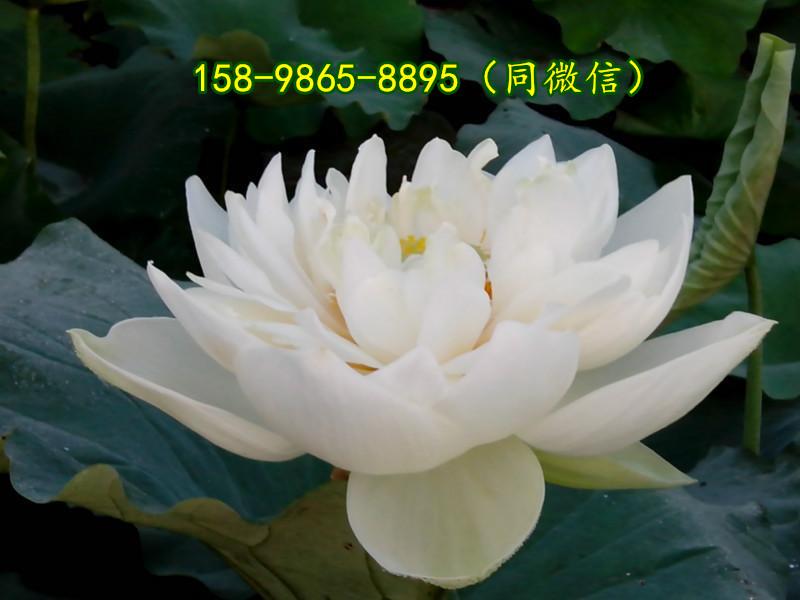 新疆省吐鲁番地区人工湖可以种植莲花吗