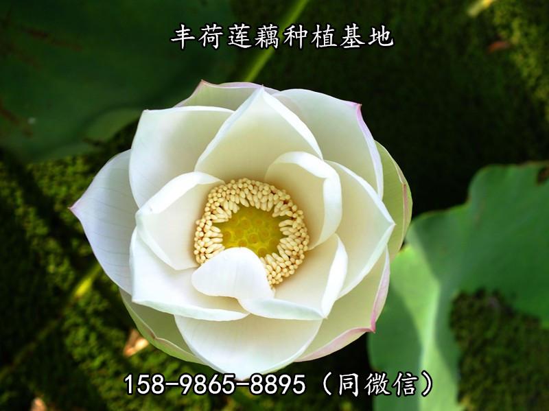 重庆省渝北区莲花苗多少钱