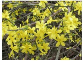 江苏省盐城紫薇树、9公分紫薇树价格、低价抛售